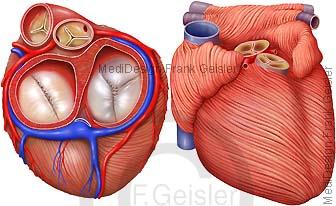 Anatomie Ventilebene Herz mit Herzklappen Ventile