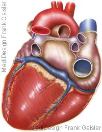 Anatomie Herz Herzmuskel Hinterwand