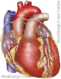 Anatomie Herz Herzmuskel Vorderwand