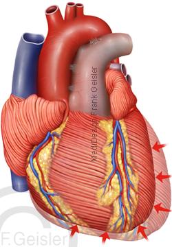 Anatomie Herz, Herzzyklus Kontraktion Diastole Herzmuskel