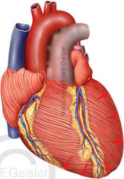 Anatomie Herz, Herzzyklus Kontraktion Systole Herzmuskel