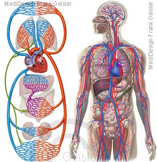 Herz-Kreislauf-System des Menschen, großer kleiner Kreislauf Blutkreislauf