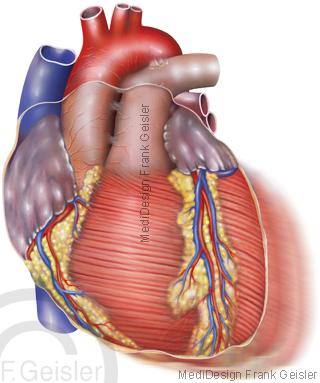 Herz Pumpfunktion, Herzkontraktion Kontraktion Herzpumpe