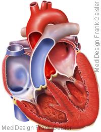 Anatomie Herz mit Vorhöfe Atrien Herzkammern Ventrikel