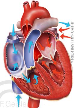 Anatomie Physiologie Blutfluss Herz mit Vorhöfe und Herzkammern