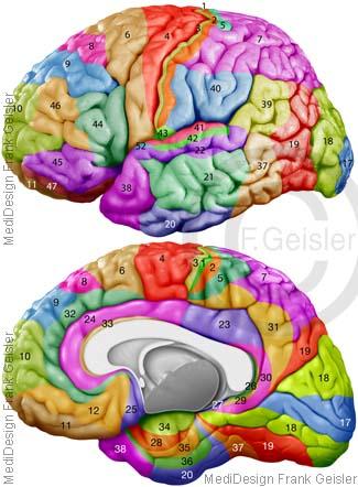 Hirn Gehirn mit Brodmann Areale, Neocortex mit Rindenfelder