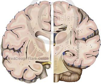 Anatomie Hirn Gehirn, Teile Mittelhirn Mesencephalon
