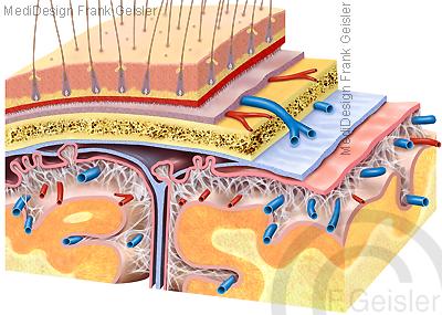 Anatomie Hirnhaut Hirnhäute Meninges Gehirn mit Blutgefäße