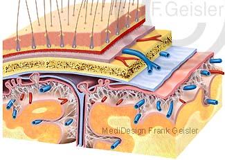 Gehirn mit Schichten Hirnhaut Meninx encephali