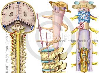 ZNS, Hirnstamm mit Rückenmark und Wirbelsäule des Menschen