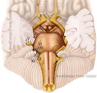Anatomie Gehirn, Hirnstamm Truncus cerebri mit Nerven