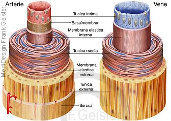 Histologie Blutgefäße, Anatomie Wandschichten Arterie Vene