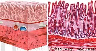 Histologie Magenschleimhaut Mucosa im Magen