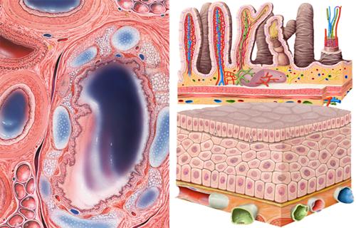 Histologie, Mikroskopische Anatomie Gewebe des Menschen von Frank Geisler