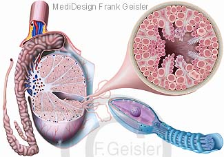 Anatomie Hoden Nebenhoden mit Hodenkanälchen Samenzelle Spermium Sperma
