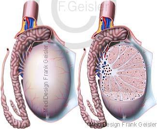Anatomie Hoden Testis Testikel Orchis mit Nebenhoden