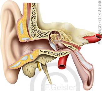 Anatomie Hörorgan und Gleichgewichtsorgan für Gehör Gleichgewicht, Ohr mit Mittelohr Innenohr
