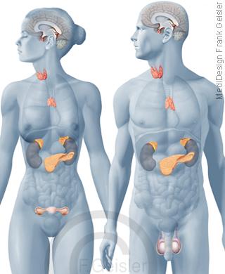 Organe Hormondrüsen Drüsen Hormonausschüttung Hormone Frau und Mann