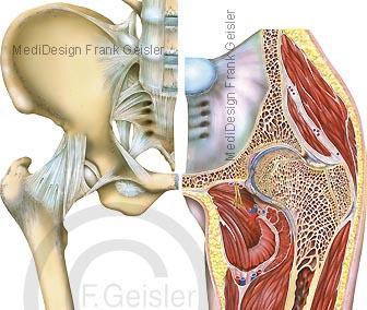 Anatomie Becken, Hüfte mit Hüftgelenk Articulatio coxae und Hüftregion