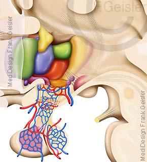 Anatomie Kerne Hypothalamus und Hypophyse