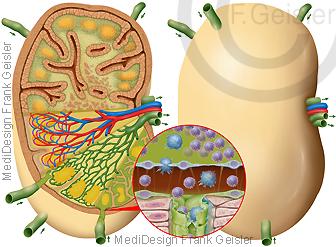 Immunorgan Lymphknoten im Immunsystem des Menschen