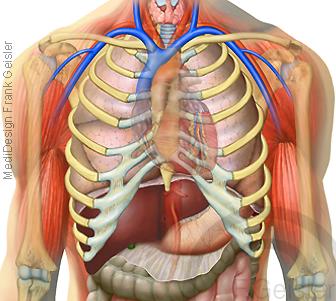 Anatomie innere Organe im Thorax Brustraum der Brusthöhle des Menschen