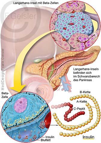 Biosynthese Insulin in Beta-Zellen der Bauchspeicheldrüse Pankreas