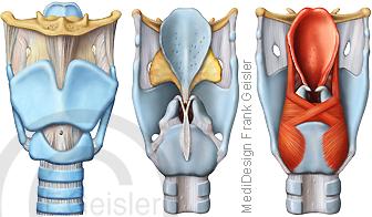 Anatomie Kehlkopf Larynx, Kehlkopfskelett und Luftröhre