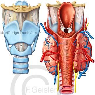 Kehlkopf Larynx mit Schilddrüse und Nasopharynx Nasenrachen Pharynx