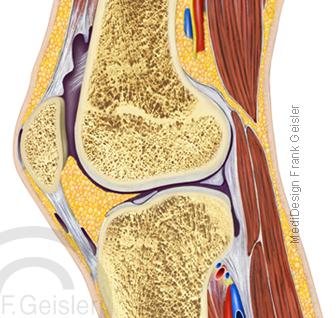 Anatomie Knie Kniegelenk Articulatio genus mit Kniescheibe Patella