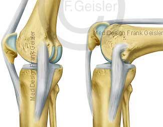 Aufbau und Funktion Knie Kniegelenk mit Bänder