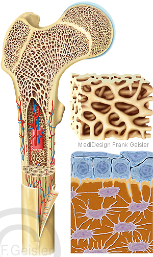 Knochen Knochenskelett Struktur Knochengewebe Knochenzellen Osteozyten