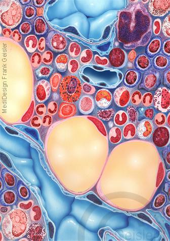 Knochenmark Medulla ossium mit Blut Blutzellen Immunzellen Stammzellen