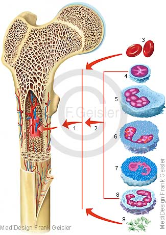Knochen mit Knochenmark, Zellen Blutzellen Immunzellen im Mark