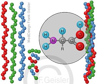 Aufbau von Kollagen Collagen, Kollagenstrang mit Peptide
