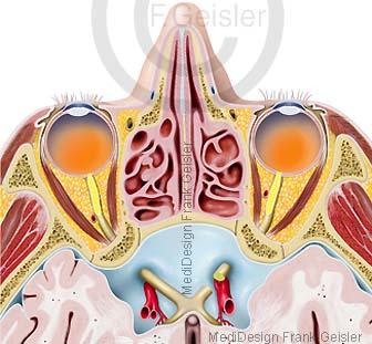 Anatomie Kopf Augen in Augenhöhle Orbita und Nasenhöhle
