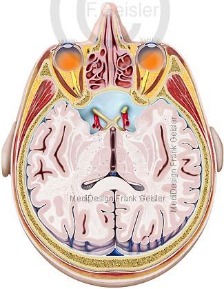 Anatomie Kopf mit Augen Sehnerv Sehnervkreuzung und Strukturen Hirn Gehirn