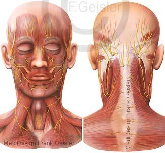 Muskeln Muskulatur Kopf und Hals mit Gesichtsmuskeln und Nerven