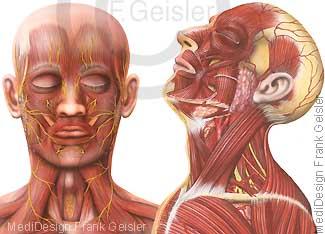 Kopf und Hals mit Muskeln Muskulatur Nerven Speicheldrüsen