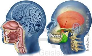 Kopf Mund und Kiefer, Knochen Skelett mit Muskulatur