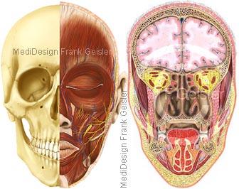 Anatomie Schädel Kopf mit Gehirn Nase Nasenhöhlen Nasennebenhöhlen
