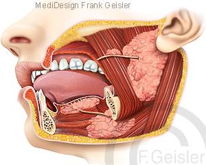 Speicheldrüsen Kopf, Speicheldrüse Ohr Mund Zunge