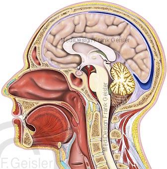 Anatomie Organe im Kopf, Schädel mit Gehirn Hirn