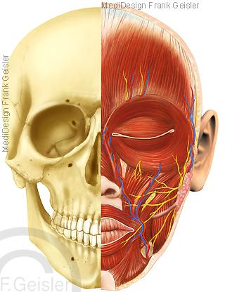 Anatomie Kopf, Knochen Muskeln Gefäße Schädel Schädelskelett Gesicht Gesichtsschädel