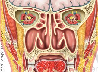 Anatomie Kopf, Schädelgrube Augenhöhle Nasenhöhle und Gesichtsgegend