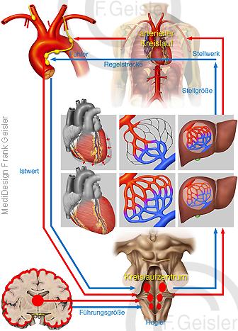 Kreislauf des Menschen, Kreislaufregulation Regulation Blutdruck Blutdruckregulation und Blutfluss