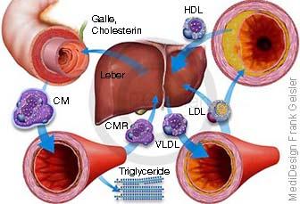 Leber mit Cholesterin HDL LDL, Transport zwischen Leber, Darm Blutgefäße