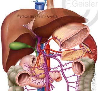 Leber Hepar Gallenblase Galle mit Organe im Bauchraum und Pfortader