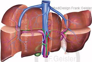 Anatomie Leber Segmente Lebersegmente Leberlappen mit Pfortader