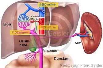 Gefäße Blutgefäße und Stoffwechsel der Leber, Funktion Leberfunktion und Galle Gallenblase